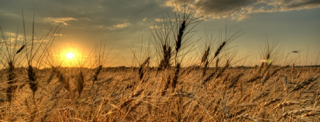 North Dakota - Wheat blows in the wind at sunset - See America - Visit USA Travel Guide